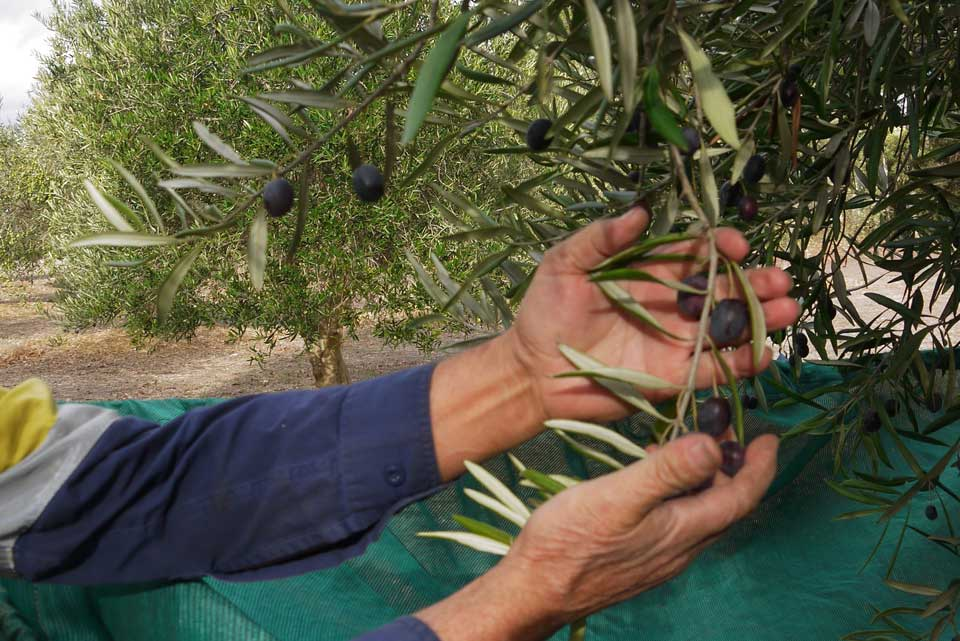 best olives to pick for customers