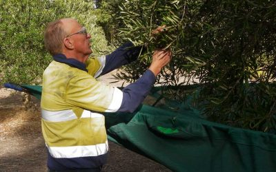 Olive Harvesting Begins by Choosing Only the Best Olives for Customers
