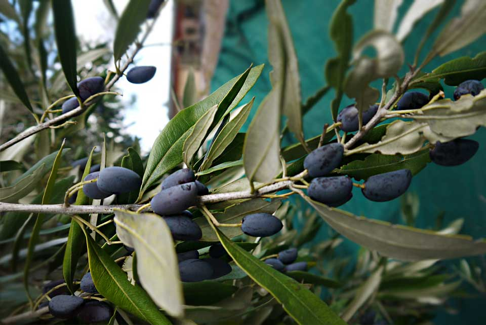 large lush Barouni olives